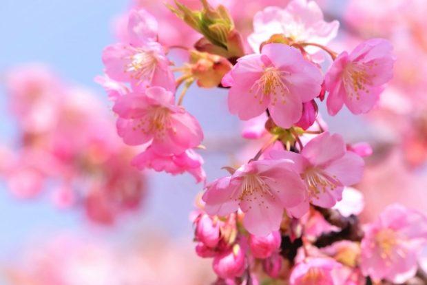 『河津桜』植木の里親 募集中!!
